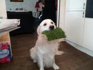 quand le chien adopte le gazon synthétique
